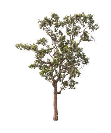 bole: Tree isolated on white background
