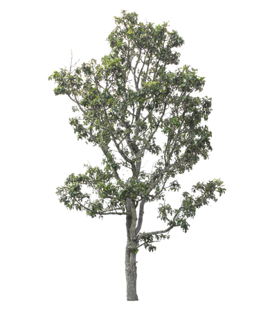 tree isolated: Tree isolated on white background