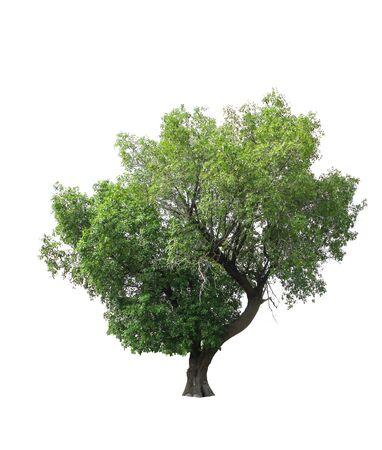 large tree: Tree isolated on white background
