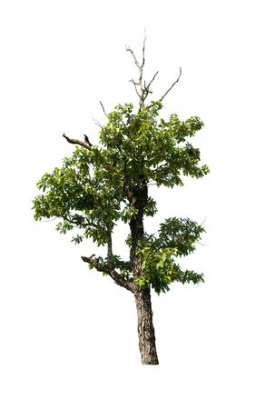 arbre isolé sur fond blanc Banque d'images
