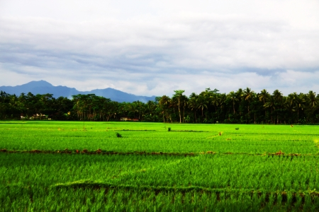 Verdant Rice Fields, Purwokerto Central Java Indonesia Stock Photo - 17197840