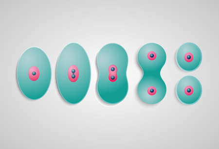 meiosis: cell division