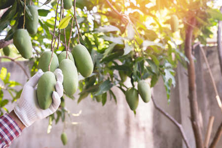 human hand pinking mangoes fruit in garden, asian traditional fruit.