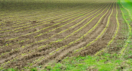 Newly sown corn field