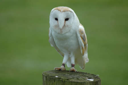 A Barn Owl on a Wooden Post