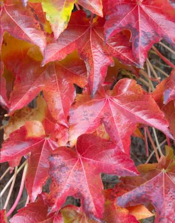 Autumn Red Ivy Leaves 版權商用圖片