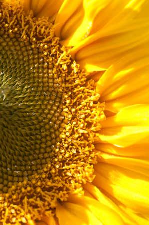 Sunflower Half 版權商用圖片