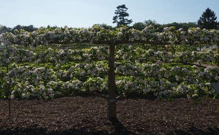 Espalier Apple Tree in Kitchen Garden