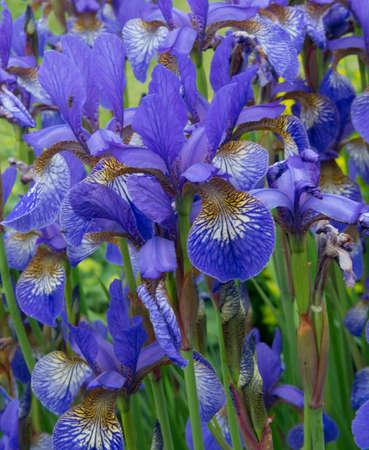 Purple Irises in a Garden 版權商用圖片