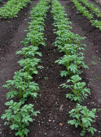 Potato Plants Growing on an Allotment 版權商用圖片