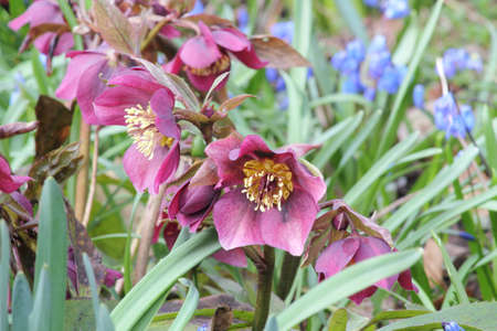 Group of black red hellebores in spring