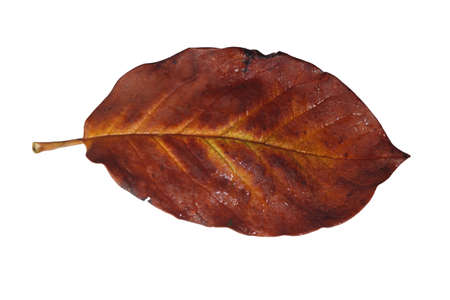 Freed magnolia leaf with fine yellow veins in brown autumn color
