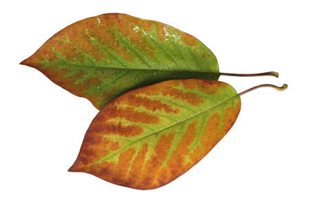 Cropped magnolia leaves with delicate veins in green-brown in autumn