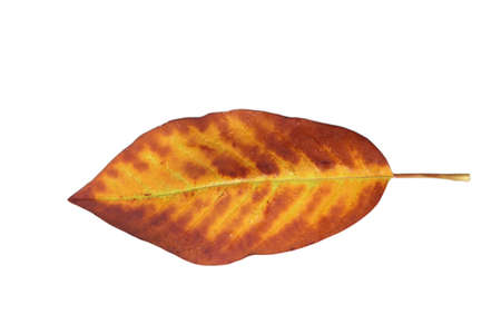 Freed magnolia leaf veins with fine yellow to yellow-brown in autumn Stock Photo - 15750095
