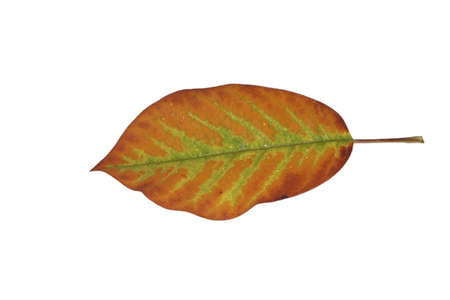 Freed magnolia leaf with fine veins in brown-green in autumn Stock Photo - 15750092