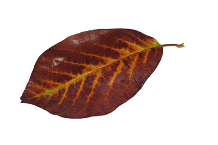 Freed magnolia leaf veins with fine yellow to yellow-brown in autumn