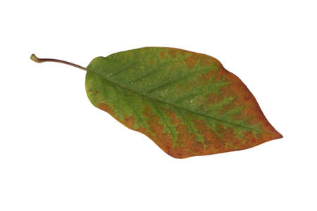 Freed magnolia leaf with fine veins in brown-green in autumn Stock Photo