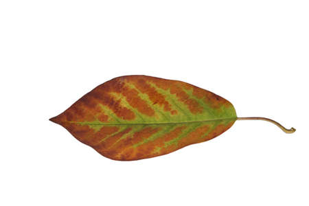 Freed magnolia leaf with fine veins in brown-green in autumn Stock Photo - 15750090