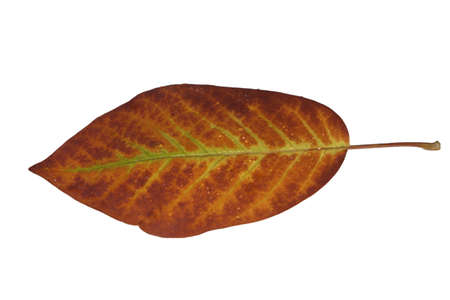 Freed magnolia leaf veins with fine yellow to yellow-brown in autumn Stock Photo - 15750103