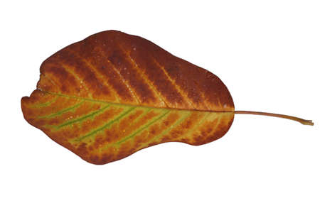 Freed magnolia leaf veins with fine yellow to yellow-brown in autumn Stock Photo - 15750104