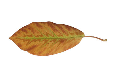 Freed magnolia leaf veins with fine yellow to yellow-brown in autumn Stock Photo - 15750093