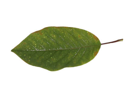 freed: Freed magnolia leaf with fine yellow veins in green-brown in autumn