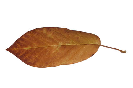 Freed magnolia leaf with fine yellow veins in brown autumn color Stock Photo - 15750094