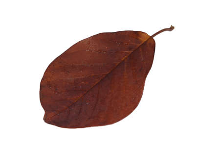 Freed magnolia leaf with fine veins in brown autumn color Stock Photo