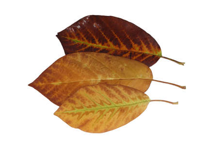 Cropped magnolia leaves with delicate veins in yellow-brown in autumn