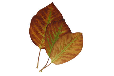 Cropped magnolia leaves with delicate veins in green-yellow-brown in autumn Stock Photo - 15750101