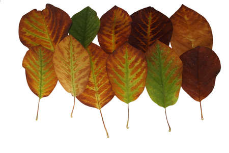 Cropped magnolia leaves with delicate veins in green-yellow-brown in autumn Stock Photo