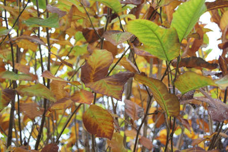 Magnolia bush with leaves in autumn colors Stock Photo