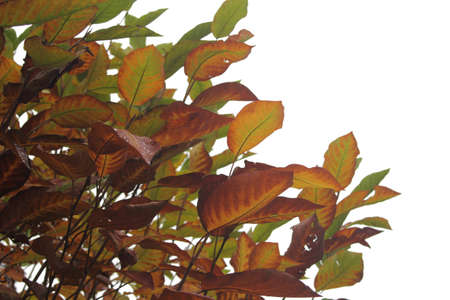 Magnolia bush with leaves in autumn colors with space freigestelltem Stock Photo