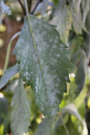 Infected with mildew sick leaves