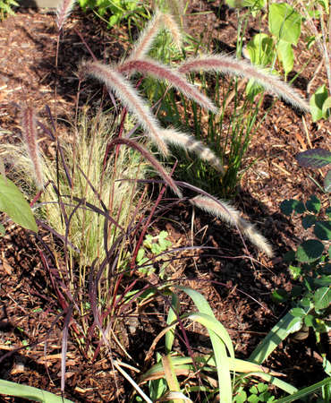 Fountain grass with reddish white inflorescences in detail