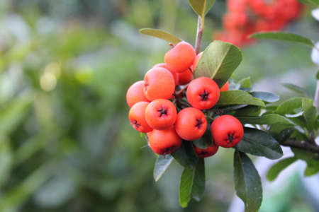Firethorn with dense clusters orange berries in autumn Stock Photo
