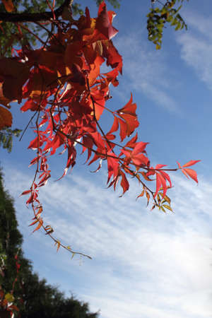 Wild wine leaves red autumn color on blue sky and white clouds