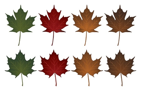 Maple Leaves-Sugar and Norway is an illustration of Sugar maple leaves and Norway maple leaves in seasonal colors  Vector