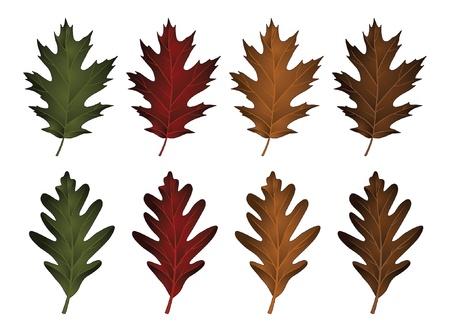 Oak Leaves - Black Oak and White Oak is an illustration of two types of oak leaves in seasonal colors  The top from the black oak tree  The bottom is from the white oak tree