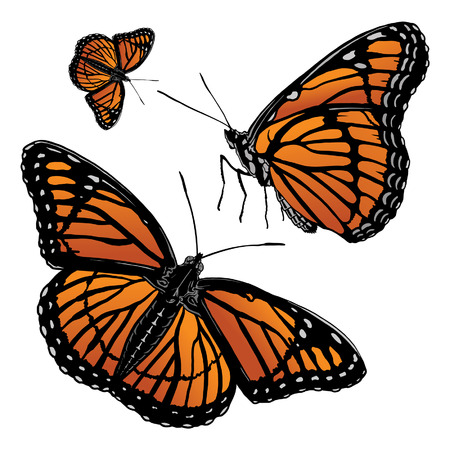 monarch: Monarch Butterfly is an illustration of monarch butterfly. Includes a side and full on version. Illustration