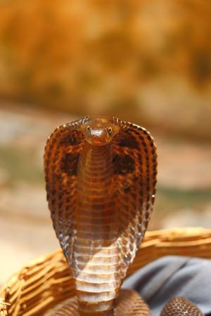 king cobra: king cobra charmed by a snake charmer
