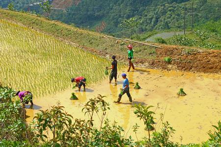 sapa: People working on Sapa rice terraces Vietnam Editorial