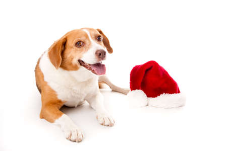 beagle mix: Dog Lying down looking at camera with a Santa hat sitting next to her Stock Photo
