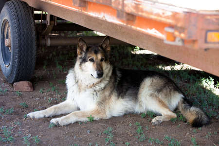 Malamute Alaskan mixed Breed German Shepherd in Colorado photo