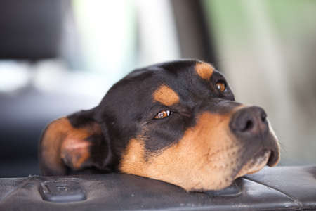 rotweiler: Mixed Breed Doberman and Rotweiller with his chin on the car seat Stock Photo