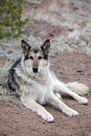 Malamute Alaskan mixed Breed German Shepherd photo