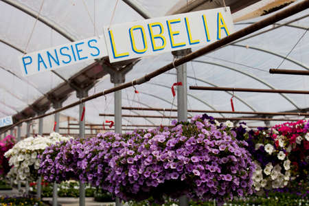 Hanging pots of Petunias in a Green House photo