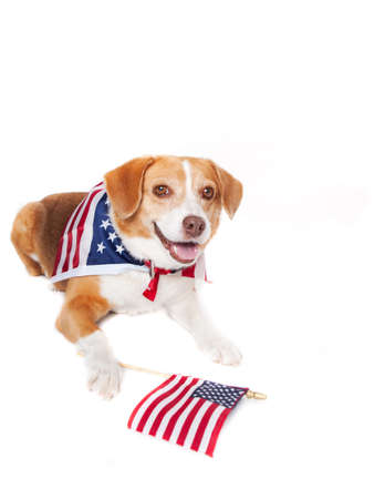 Beagle mixed breed Dog with the American flag on her neck