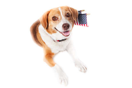 beagle mix: Beagle mixed breed Dog with the American flag on her neck
