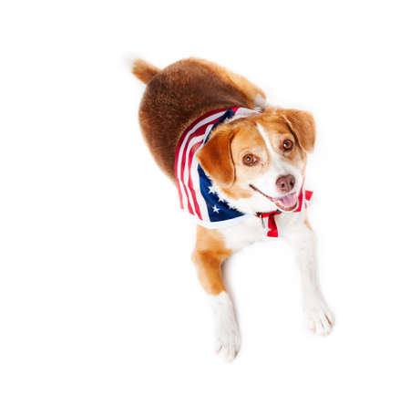 beagle mix: Mixed breed Dog with the American flag on her neck